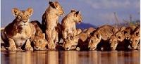 Fotógrafo passa dias mergulhado para flagrar leões